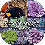 Korallenzucht-Moers